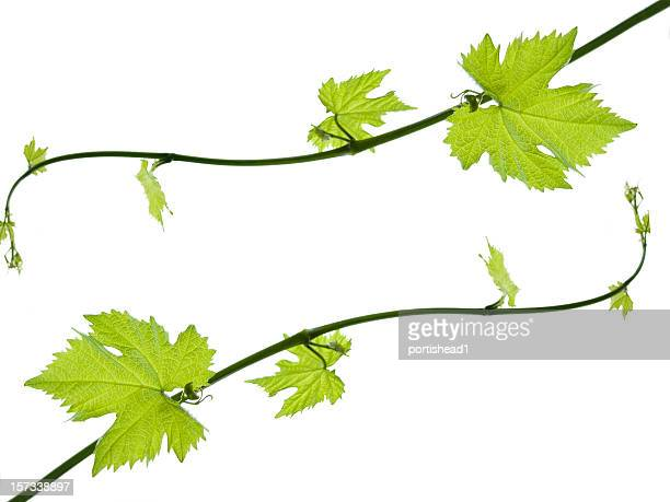 Leaves with different sizes growing on the ends of the vines