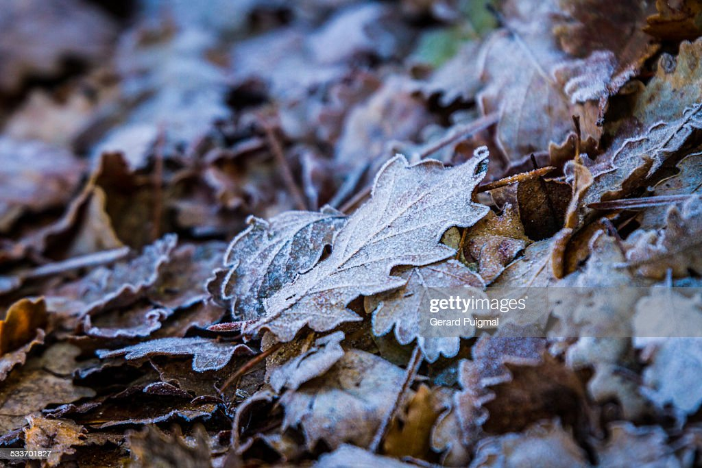 Leaves with frost on the ground : Foto stock