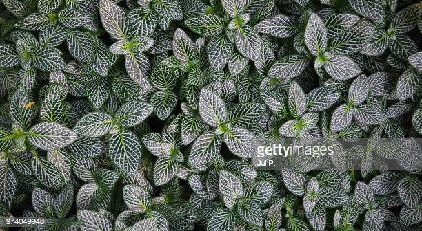 leaves with white pattern - jul photos et images de collection