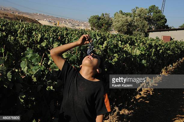 Lebanese boy eats a bunch of red grapes in Domaines des Tourelles vineyards located in the fertile lands of Bekaa valley on August 4 2012 in Chtaura...