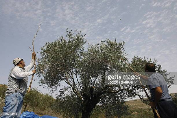 Lebanese men harvest olives in the village of Qlayaa on the southern Lebanese Israeli border on October 16 2009 Olives and olive oil production are...