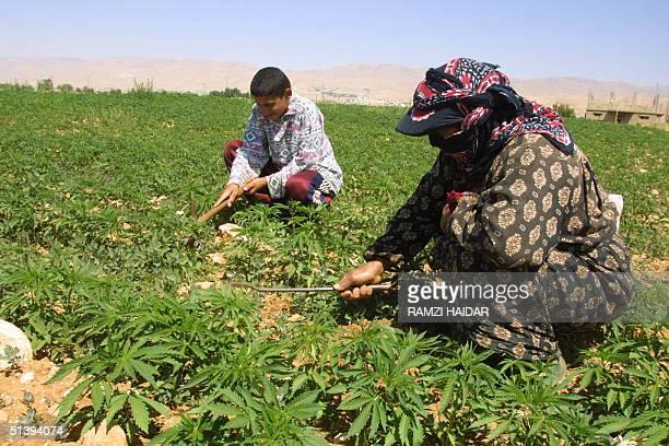 Lebanese peasants checks 08 June 2001 their hashish plantation in a remote area in the Bekaa Valley in eastern Lebanon Lebanon's lean economc times...