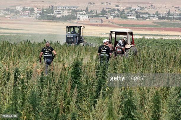 Lebanese police destroy hashish crops in the Baalbak region of Lebanon's eastern Bekaa Valley on August 18 2009 Lebanon was one of the top...