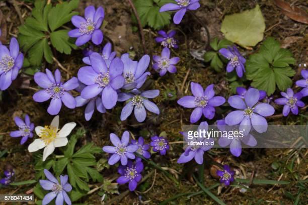Leberbluemchen einige violette Blueten