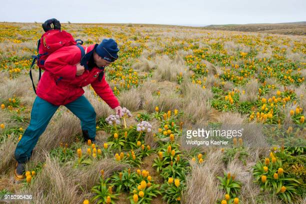 Lecturer Ian Cooke explaining the subantarctic megaherbs pink Anisotome latifolia and yellow Bulbinella rossii flowers commonly known as the Ross...