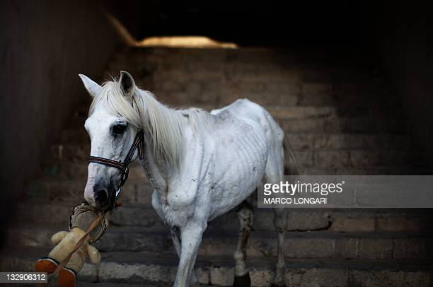 Led by an unseen boy, a malnourished horse emerges from a passageway in Tripoli's medina, on October 26, 2011. AFP PHOTO / MARCO LONGARI