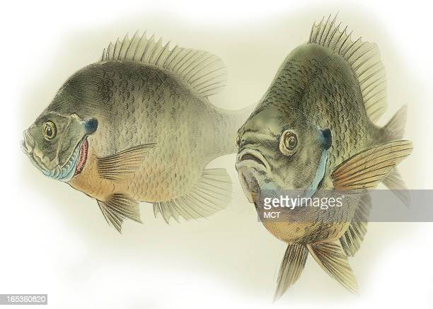 Lee Hulteng color illustration of two bluegill fish