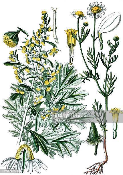 absinthium absinthe wormwood wormwood common wormwood green ginger or grand wormwood artemisia absinthium right german chamomile matricaria...