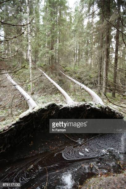 Left Angle of Three fallen trees in Helvetinjärvi National Park, Finland