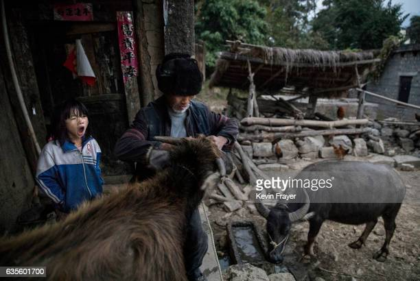 'Left behind' child Luo Hongni left yawns as grandfather Luo Yingtao ropes a cow before doing chores at the family home on December 17 2016 in Anshun...