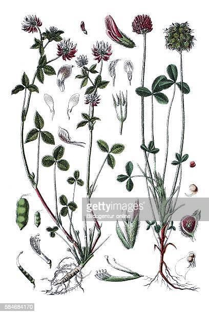 clover Trifolium elegans suecicum right strawberry clover Trifolium fragiferum