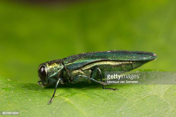 left side view of an emerald ash borer - ash stock pictures, royalty-free photos & images