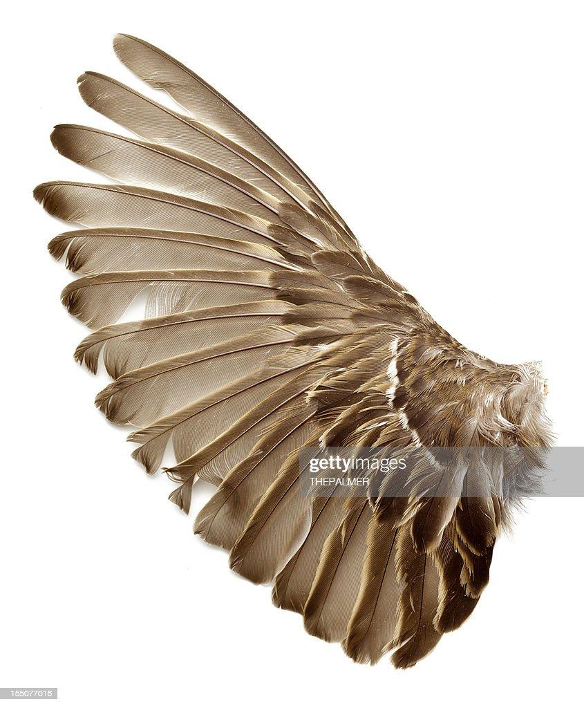 left wing of a sparrow bird : Stock Photo