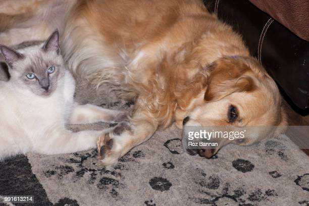 3 leg golden retriever with her little friendly ragdoll cat - purebred cat stock pictures, royalty-free photos & images