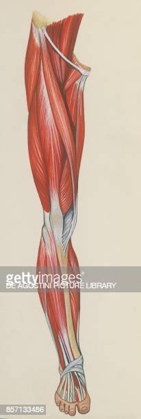 Leg muscles, human body, drawing.