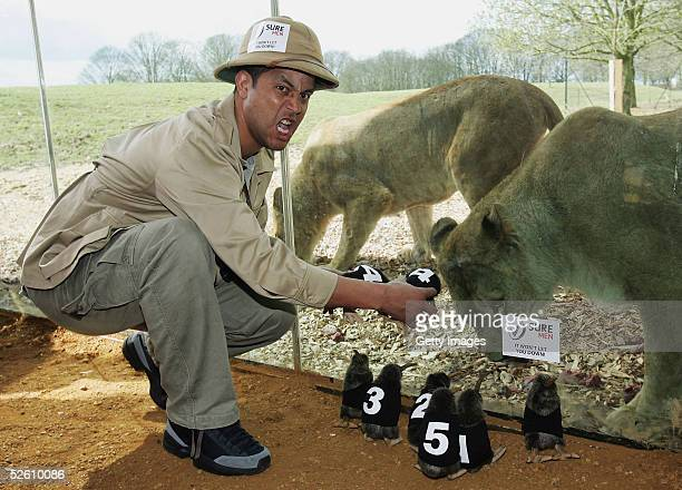 Legendary British Lion and Sure For Men Ambassador Jeremy Guscott pretends to feed some Kiwis to the Lions at Whipsnade Zoo to preview the...