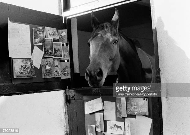 Sport Horse Racing Liverpool England December 1974 Legendary racehorse Red Rum is pictured in his stable surrounded by the many Christmas cards sent...