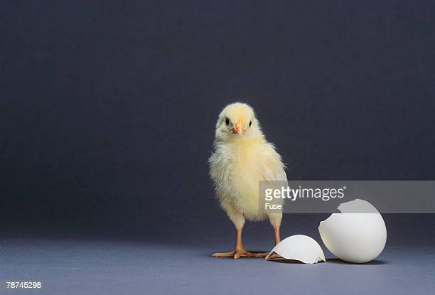 leghorn chick - hatching stock photos and pictures