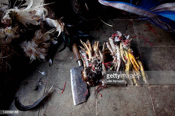 Legs of dead roosters lie on the ground during the sacred 'Aci Keburan' ritual at Nyang Api Temple on February 13 2012 in Gianyar Bali Indonesia...