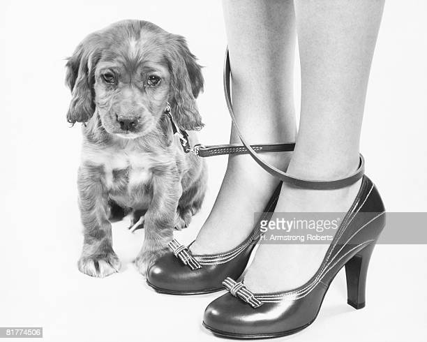 legs of woman in high heel shoes tangled by leash of cocker spaniel puppy. - dog knotted in woman stock pictures, royalty-free photos & images