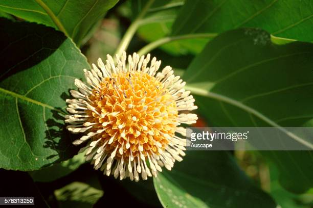 Leichhardt tree Nauclea orientalis flower The fruit is edible though bitter concoction from seed pulp taken for several disorders including diarrhoea...