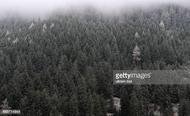 Leicht verschneiter Wald bei Sankt Moritz im Engadin am