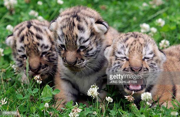 Three baby tigers are sit in the grass during their first outdoor walk at the zoo