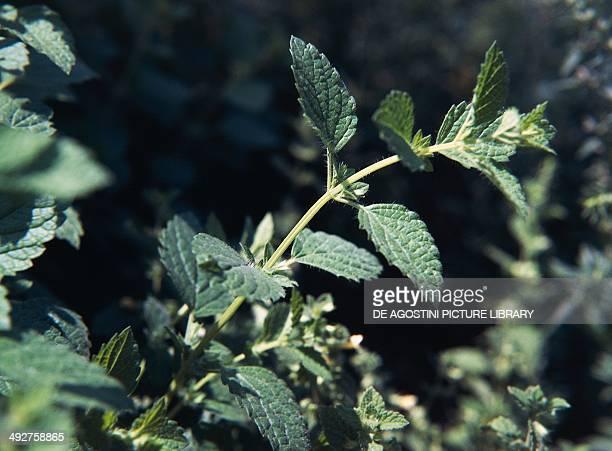 Lemon balm Lamiaceae