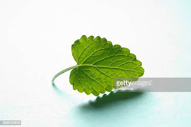A lemon balm leaf