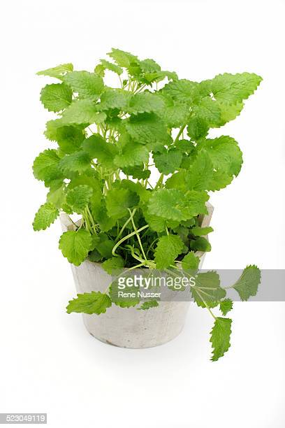Lemon balm -Melissa officinalis-, herb, medicinal plant