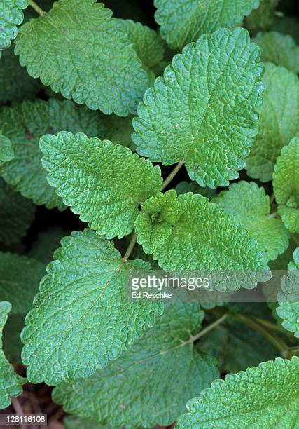 lemon balm, melissa officinalis. mint family. lemon-scented leaves commonly grown in herb gardens. alien from europe. chapel hill, north carolina. usa - lippenblütler stock-fotos und bilder