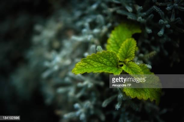 Lemon balm 'Melissa officinalis' on Helichrysum