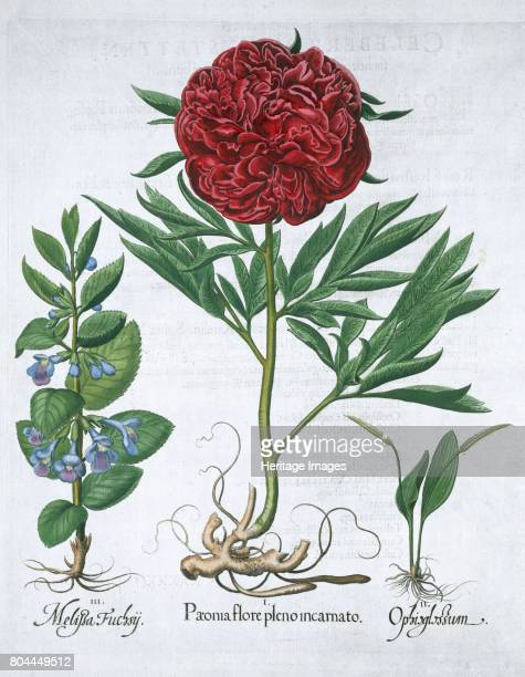 Lemon balm Peony and adder's tongue fern 1613 Melissa fuchsii Peony flower in full bloom Ophioglossum Illustration from 'Hortus Eystettensis' by...