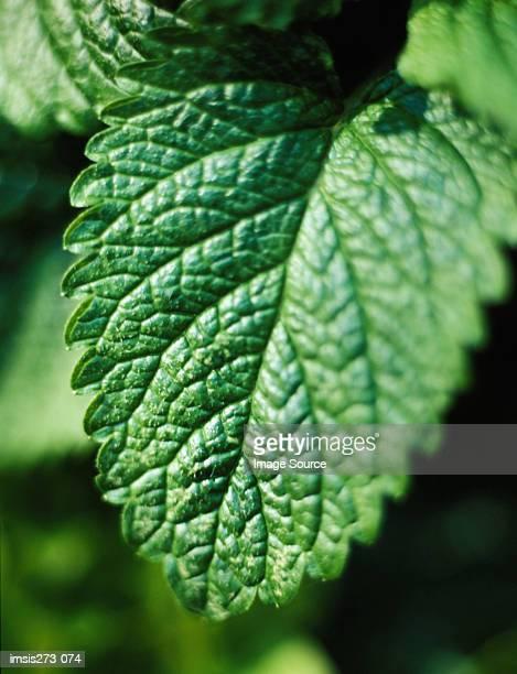 lemon balm - erva cidreira imagens e fotografias de stock