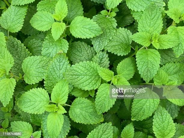 lemon balm plant - erva cidreira imagens e fotografias de stock
