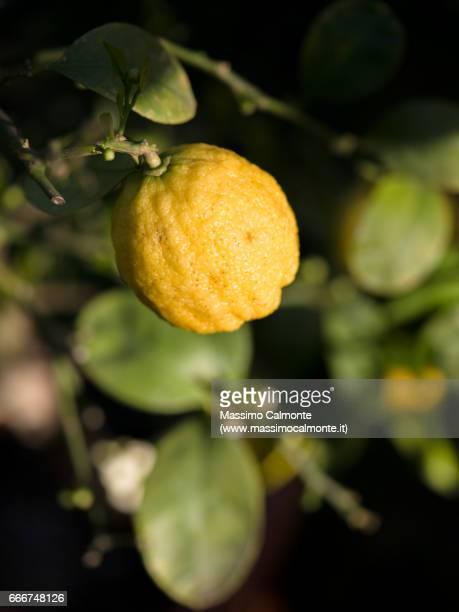 Lemon Buddha's hand variety
