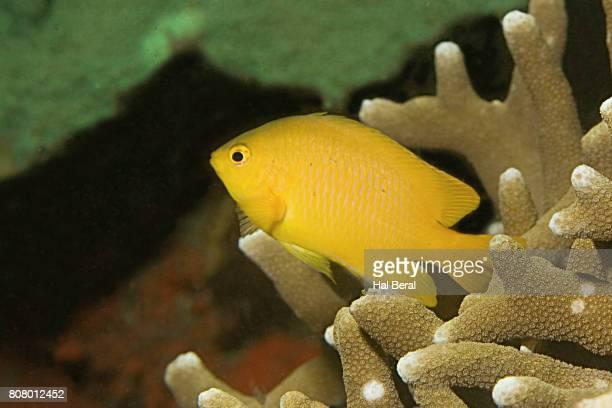 lemon damsel - damselfish stock photos and pictures