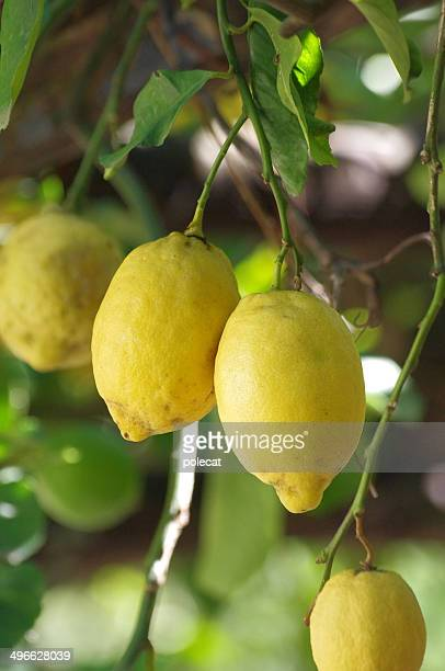 Lemon fruits hanging on a tree