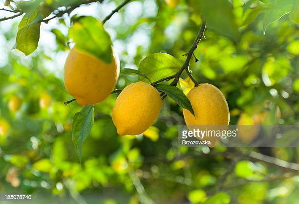 Lemon fruits in orchard