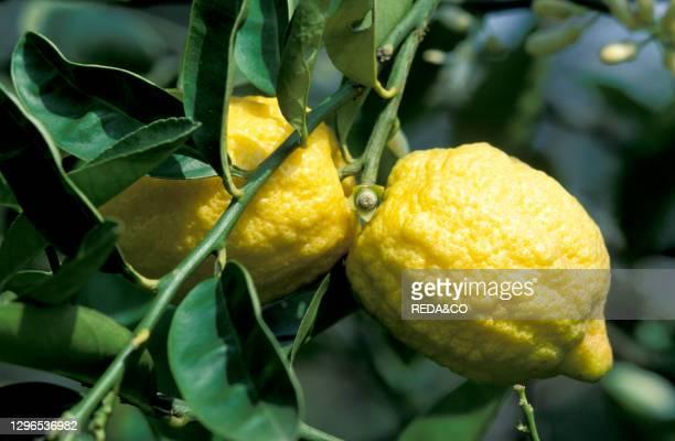 Lemon fruits. Pallanza. Italy.
