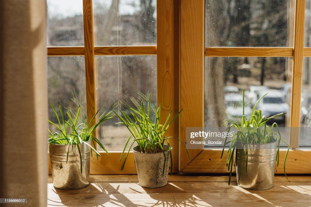 Lemon Grass in Bucket Pot on Wooden Window Sill : Stock Photo