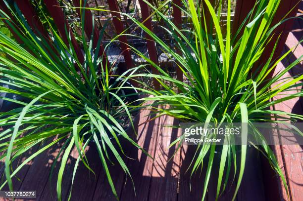 lemon grass plants - lemon grass stock pictures, royalty-free photos & images