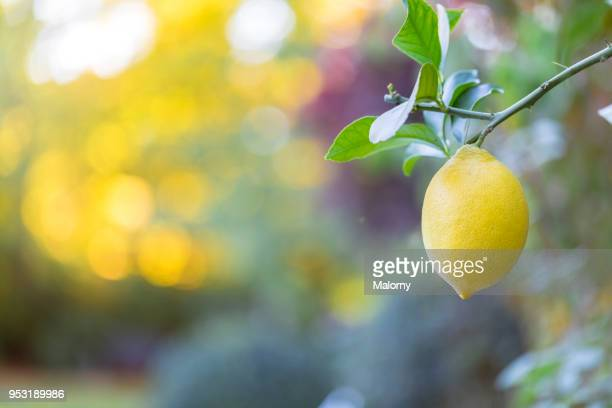 lemon hanging on a lemon tree. - zitrone stock-fotos und bilder