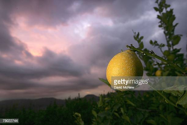 A lemon hangs on a tree at sunrise after another night of cold weather on January 17 2007 near Fillmore California Because recordsetting cold...
