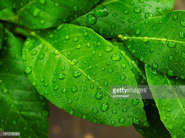 lemon leaves - lemon leaf stock photos and pictures