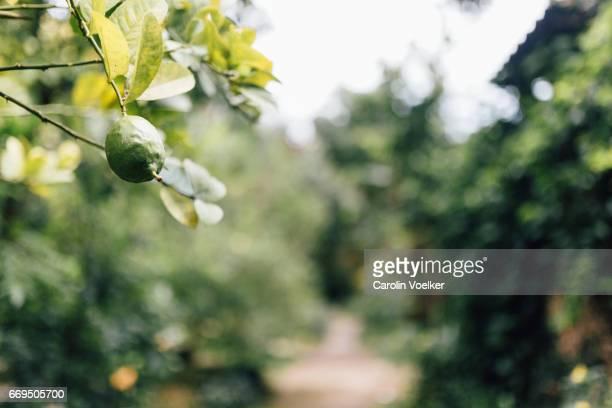 Lemon on a lemon tree