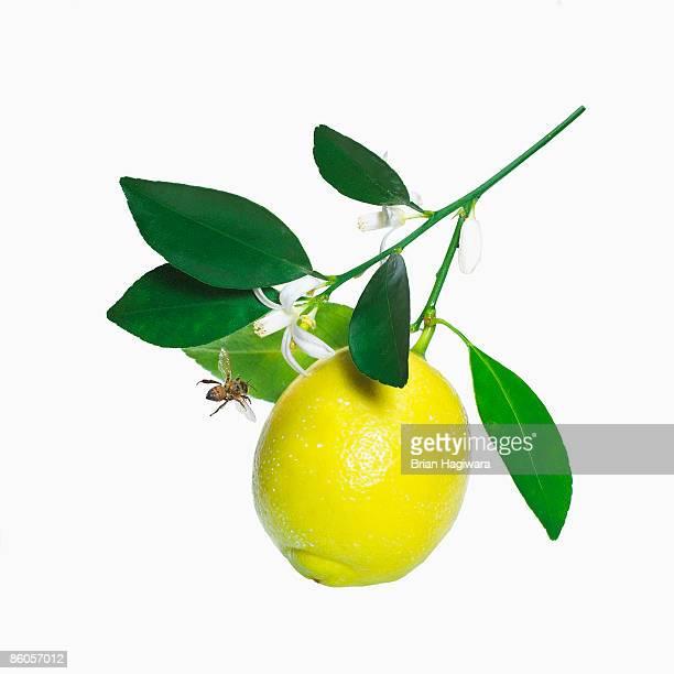 Lemon on branch
