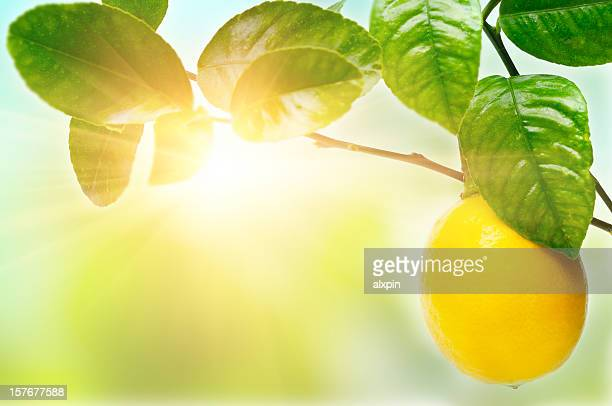 lemon on tree - lemon leaf stock photos and pictures