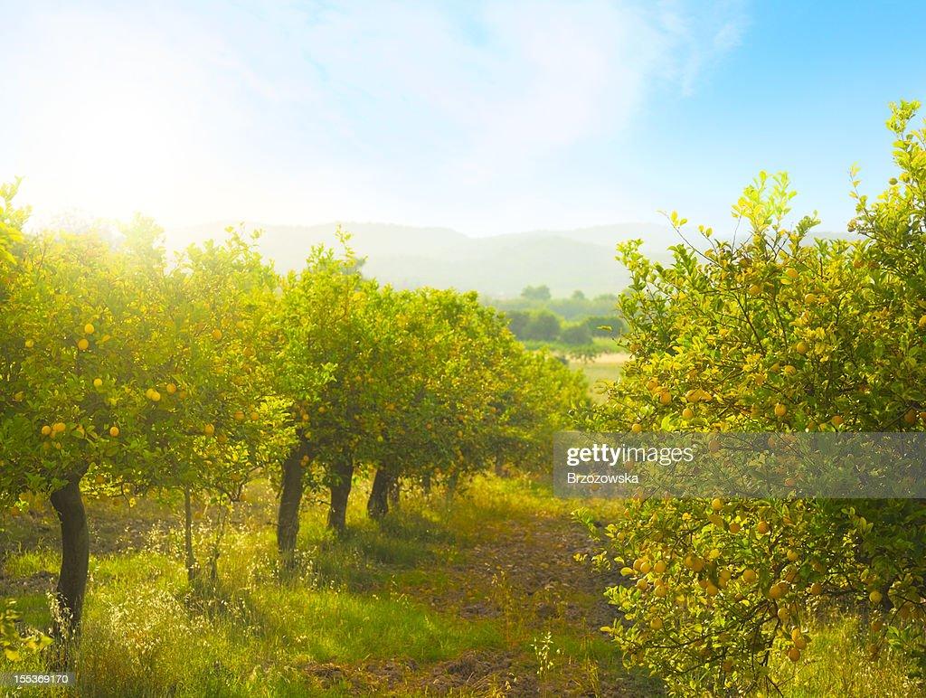 Lemon orchard : Stock Photo
