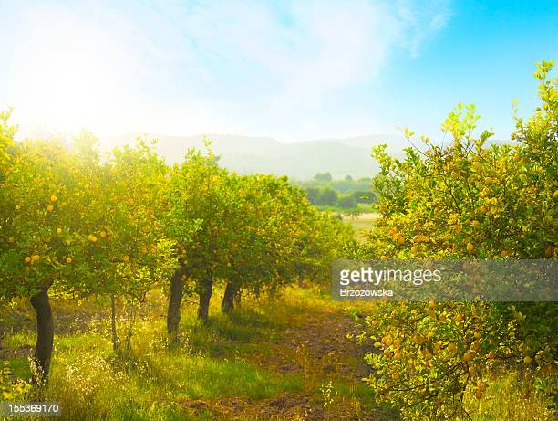 lemon orchard - orchard stockfoto's en -beelden